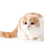 「スコティッシュフォールド」という憎めないクソ猫の特徴・性格・習性など